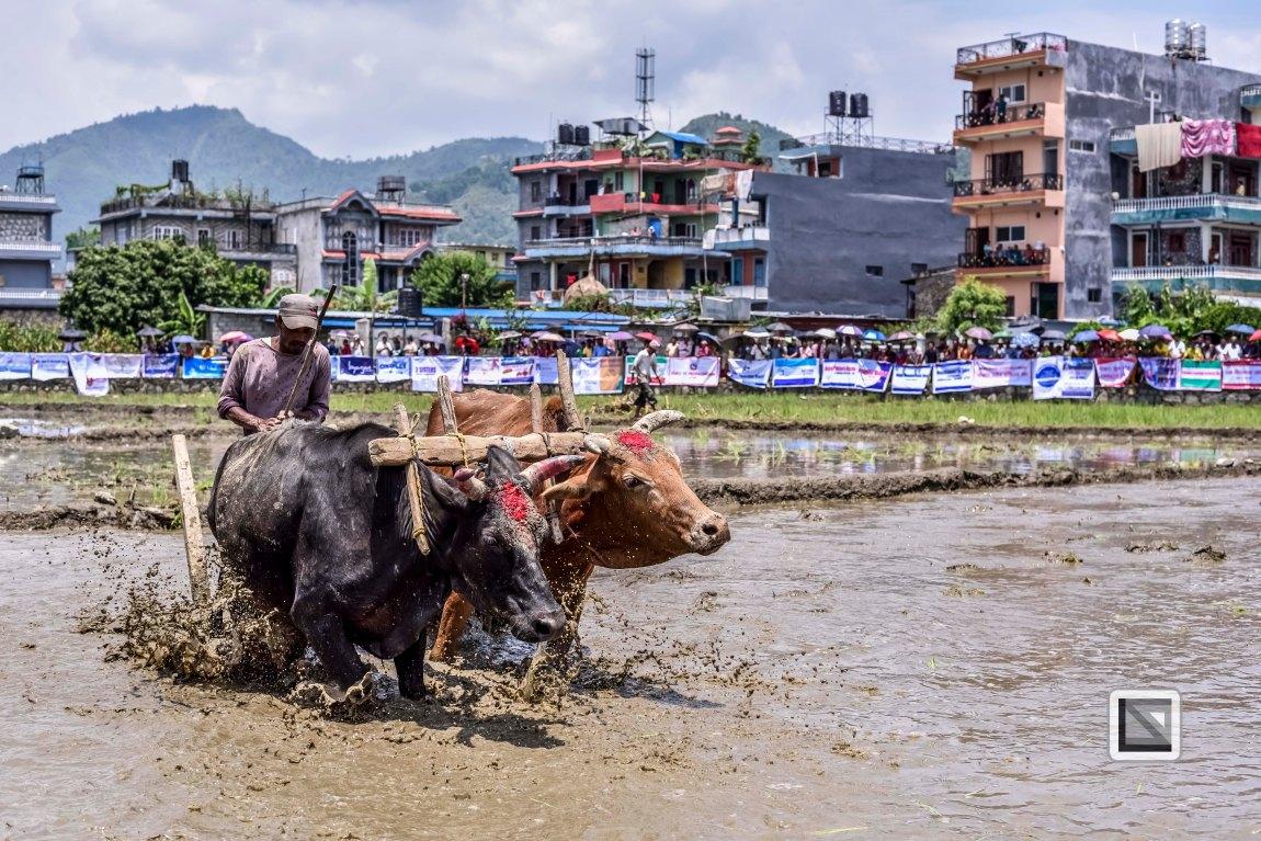 Pokhara paddy planting festival-6