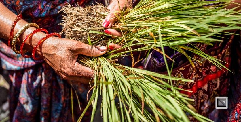 Pokhara paddy planting festival-84