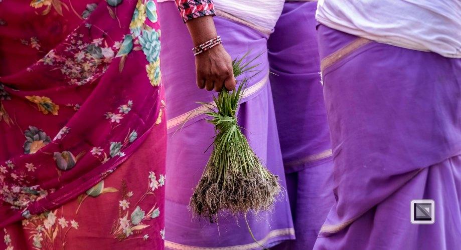 Pokhara paddy planting festival-90