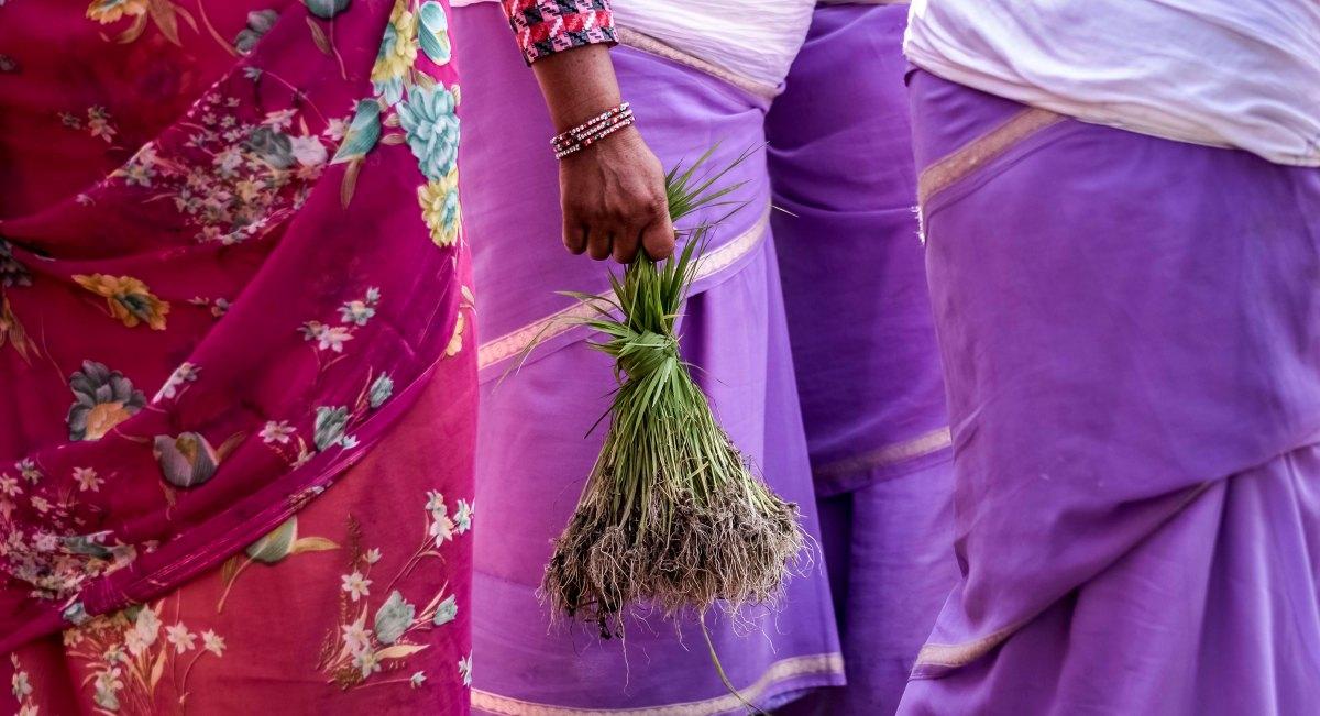 Pokhara Paddy Planting Festival