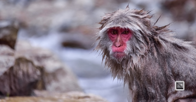 japan-jigokudani-snow_monkeys-102
