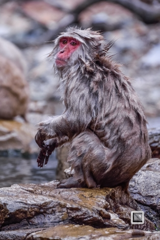 japan-jigokudani-snow_monkeys-103