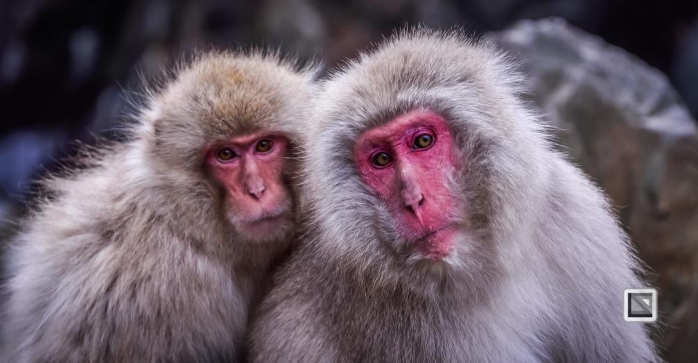 japan-jigokudani-snow_monkeys-109