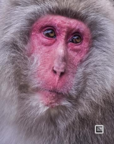 japan-jigokudani-snow_monkeys-111