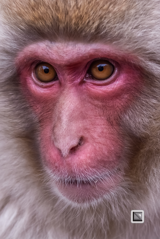 japan-jigokudani-snow_monkeys-122