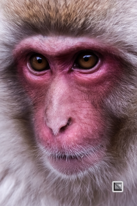 japan-jigokudani-snow_monkeys-124