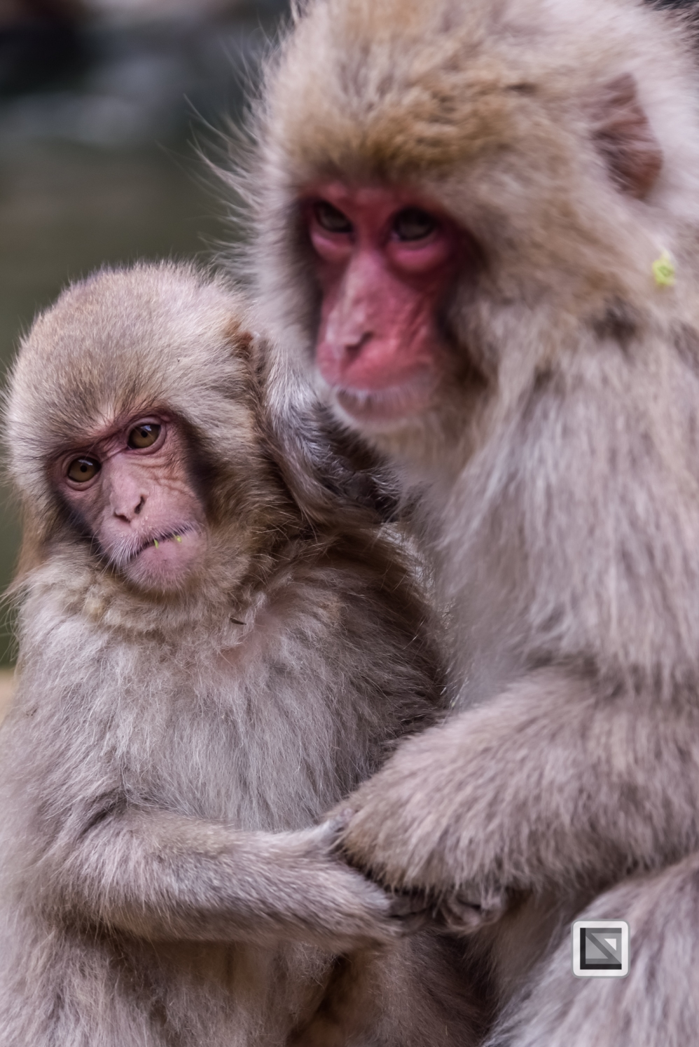 japan-jigokudani-snow_monkeys-129