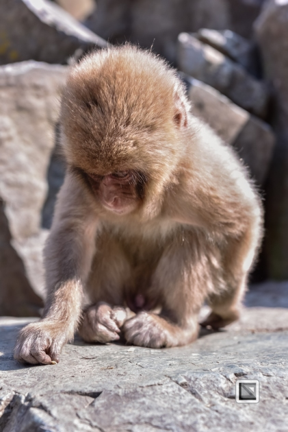 japan-jigokudani-snow_monkeys-13
