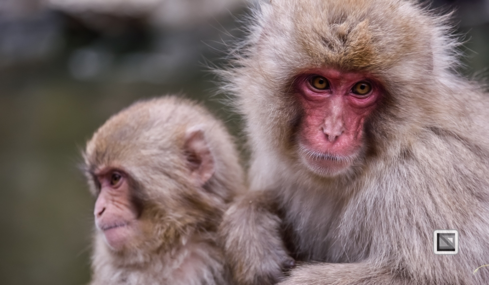 japan-jigokudani-snow_monkeys-130