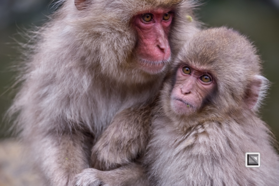 japan-jigokudani-snow_monkeys-132
