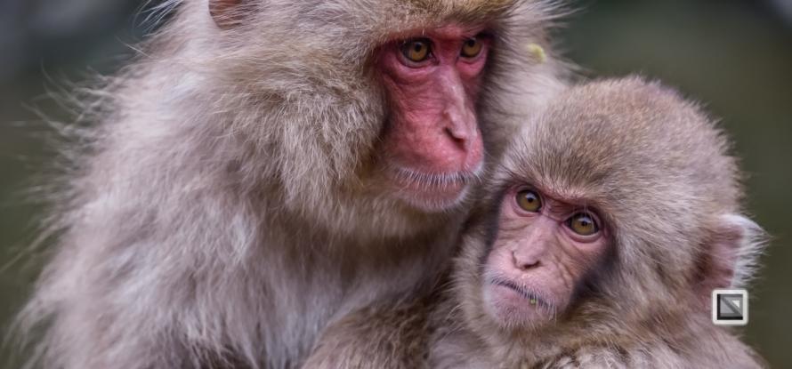 japan-jigokudani-snow_monkeys-133