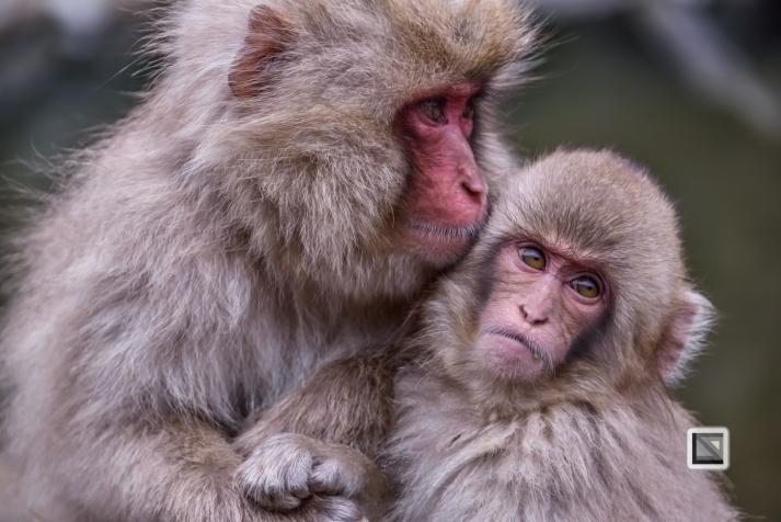 japan-jigokudani-snow_monkeys-134