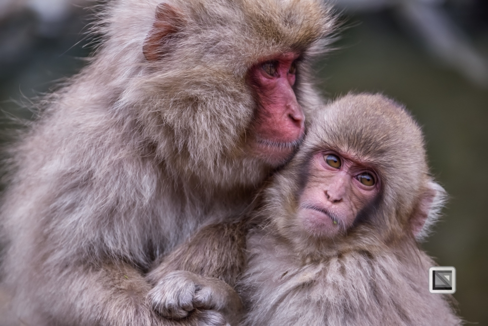 japan-jigokudani-snow_monkeys-134