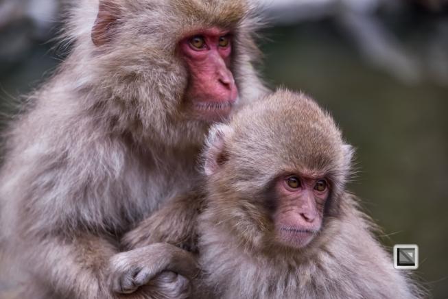 japan-jigokudani-snow_monkeys-135