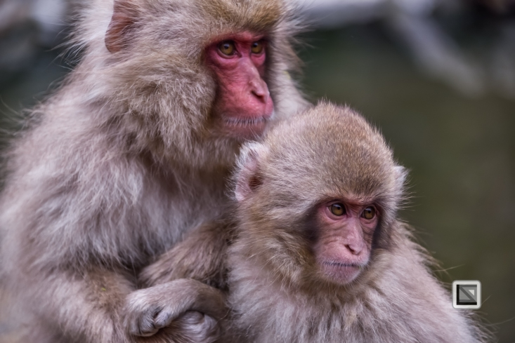 japan-jigokudani-snow_monkeys-135