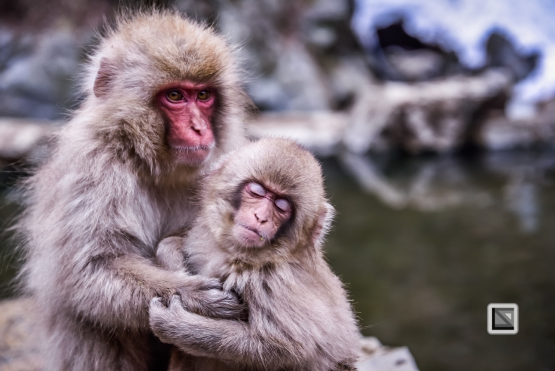 japan-jigokudani-snow_monkeys-137