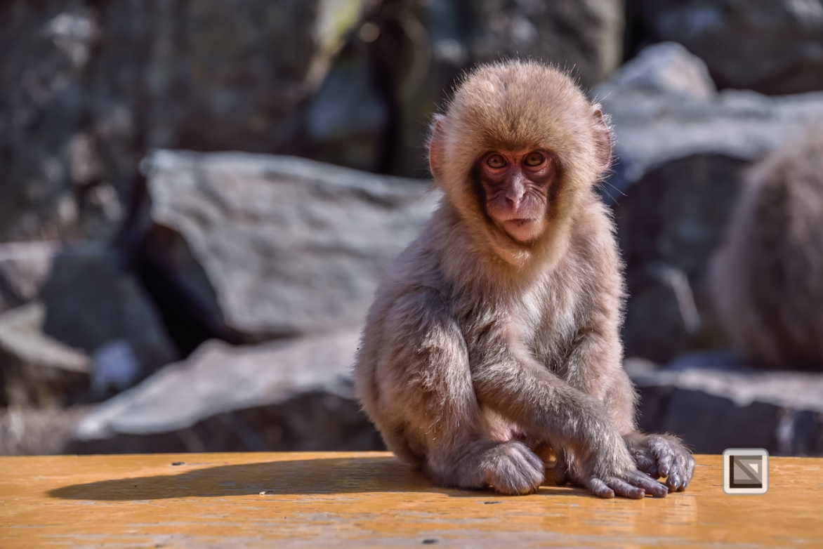japan-jigokudani-snow_monkeys-14