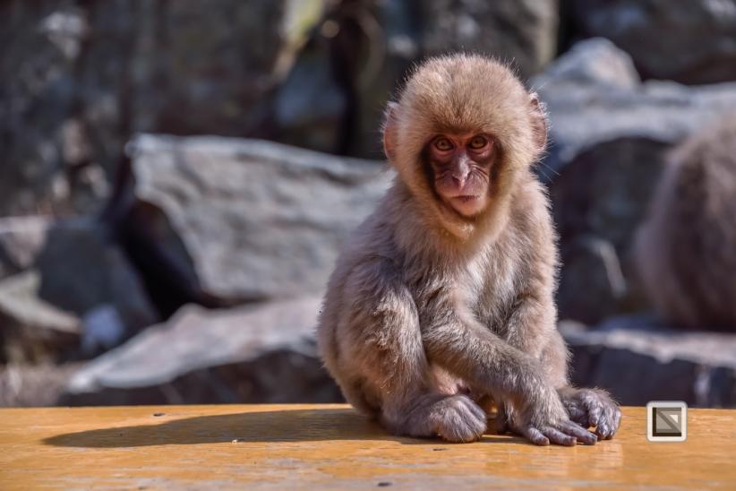 japan-jigokudani-snow_monkeys-14
