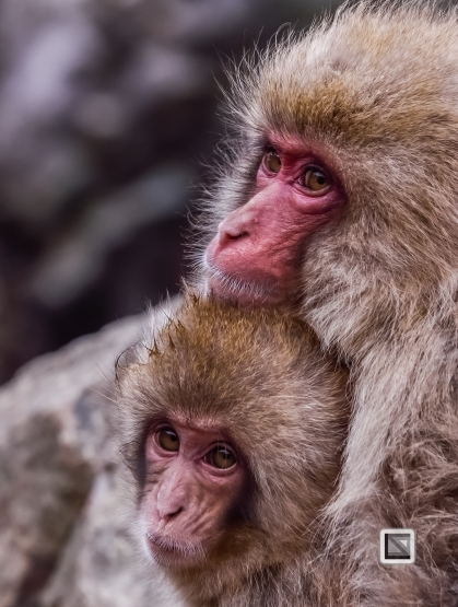 japan-jigokudani-snow_monkeys-141