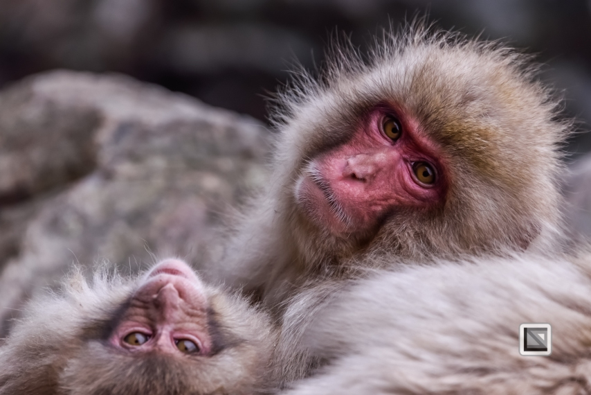 japan-jigokudani-snow_monkeys-142