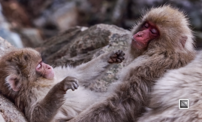 japan-jigokudani-snow_monkeys-143