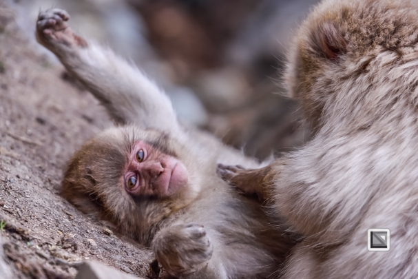 japan-jigokudani-snow_monkeys-144