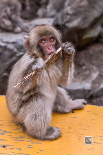 japan-jigokudani-snow_monkeys-147