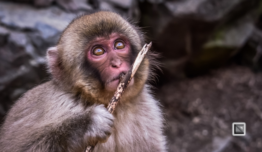 japan-jigokudani-snow_monkeys-149