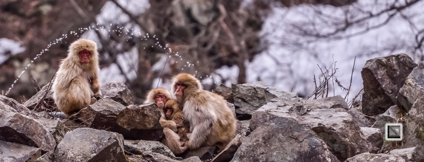 japan-jigokudani-snow_monkeys-155