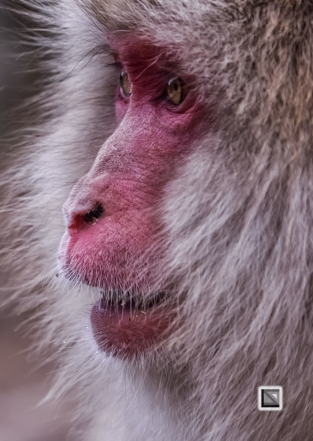 japan-jigokudani-snow_monkeys-157