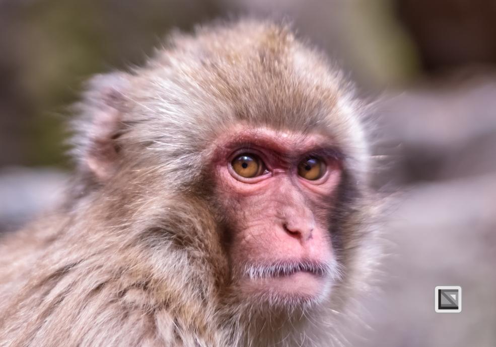 japan-jigokudani-snow_monkeys-163