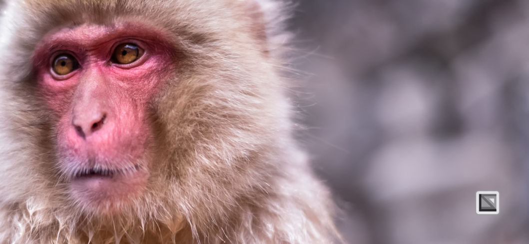 japan-jigokudani-snow_monkeys-166