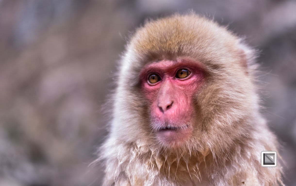 japan-jigokudani-snow_monkeys-167