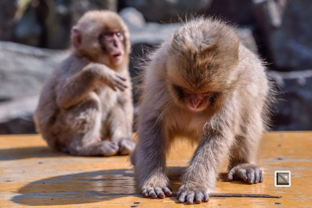 japan-jigokudani-snow_monkeys-17