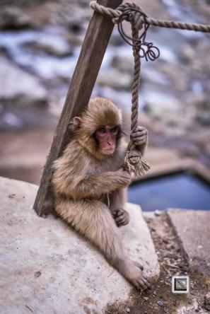 japan-jigokudani-snow_monkeys-180