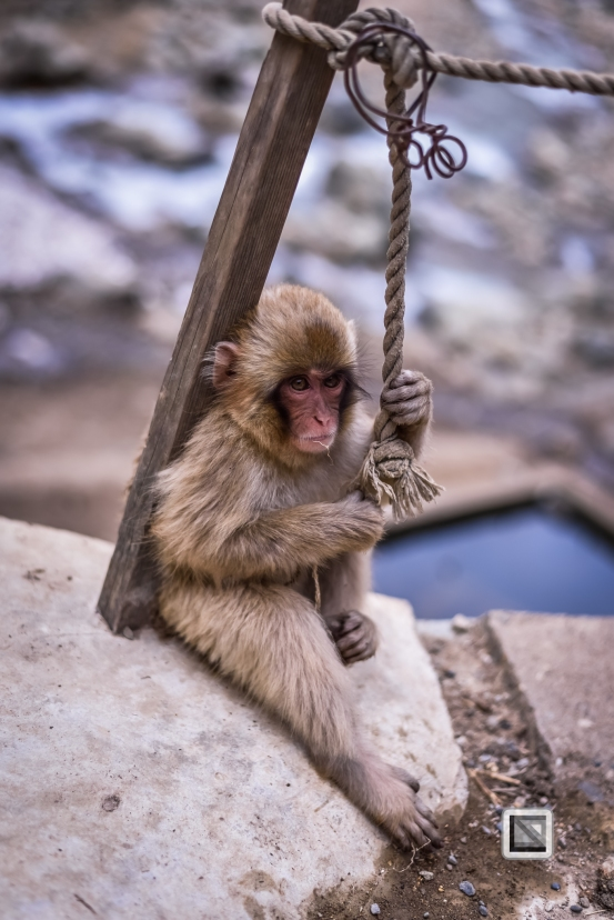 japan-jigokudani-snow_monkeys-180