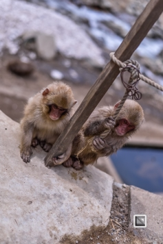 japan-jigokudani-snow_monkeys-182