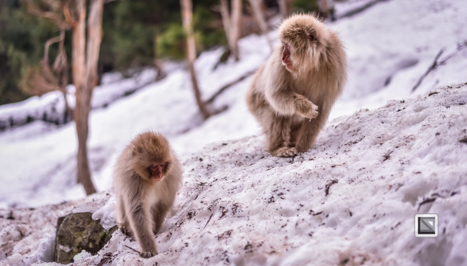 japan-jigokudani-snow_monkeys-186