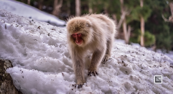 japan-jigokudani-snow_monkeys-187