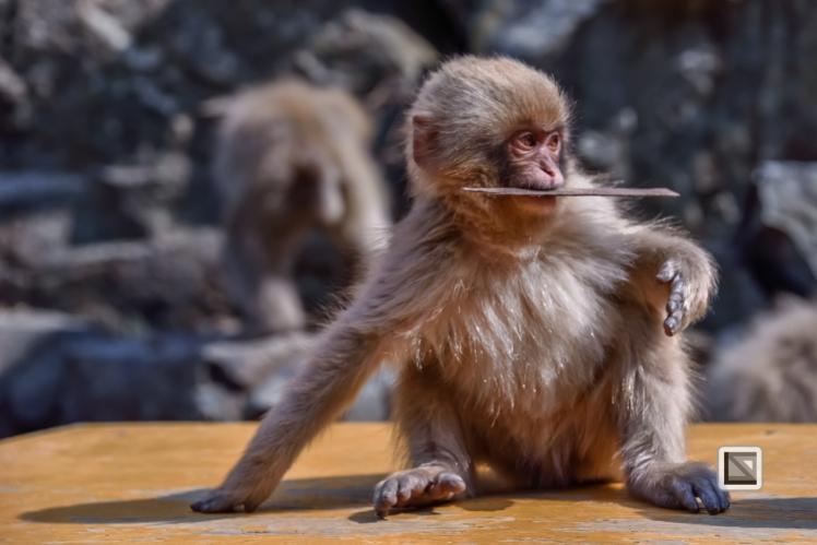japan-jigokudani-snow_monkeys-19