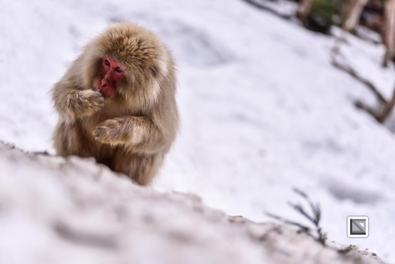 japan-jigokudani-snow_monkeys-191