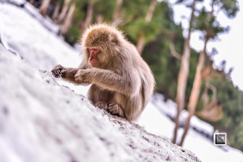 japan-jigokudani-snow_monkeys-192