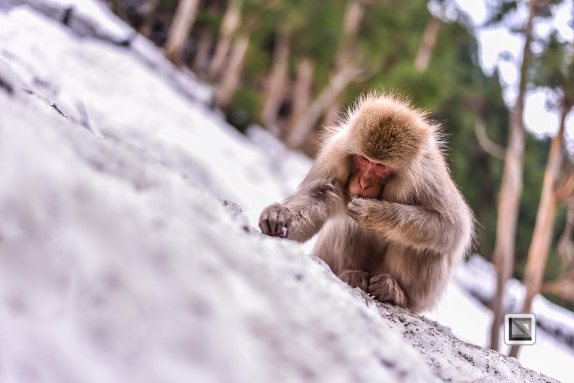 japan-jigokudani-snow_monkeys-193