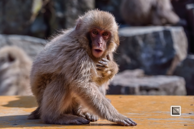 japan-jigokudani-snow_monkeys-20