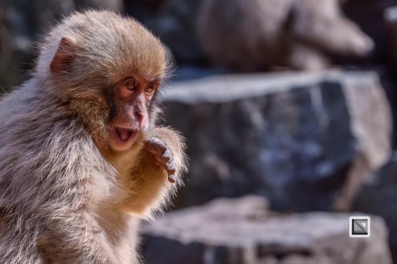 japan-jigokudani-snow_monkeys-23