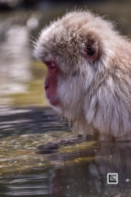 japan-jigokudani-snow_monkeys-25