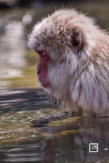 japan-jigokudani-snow_monkeys-25