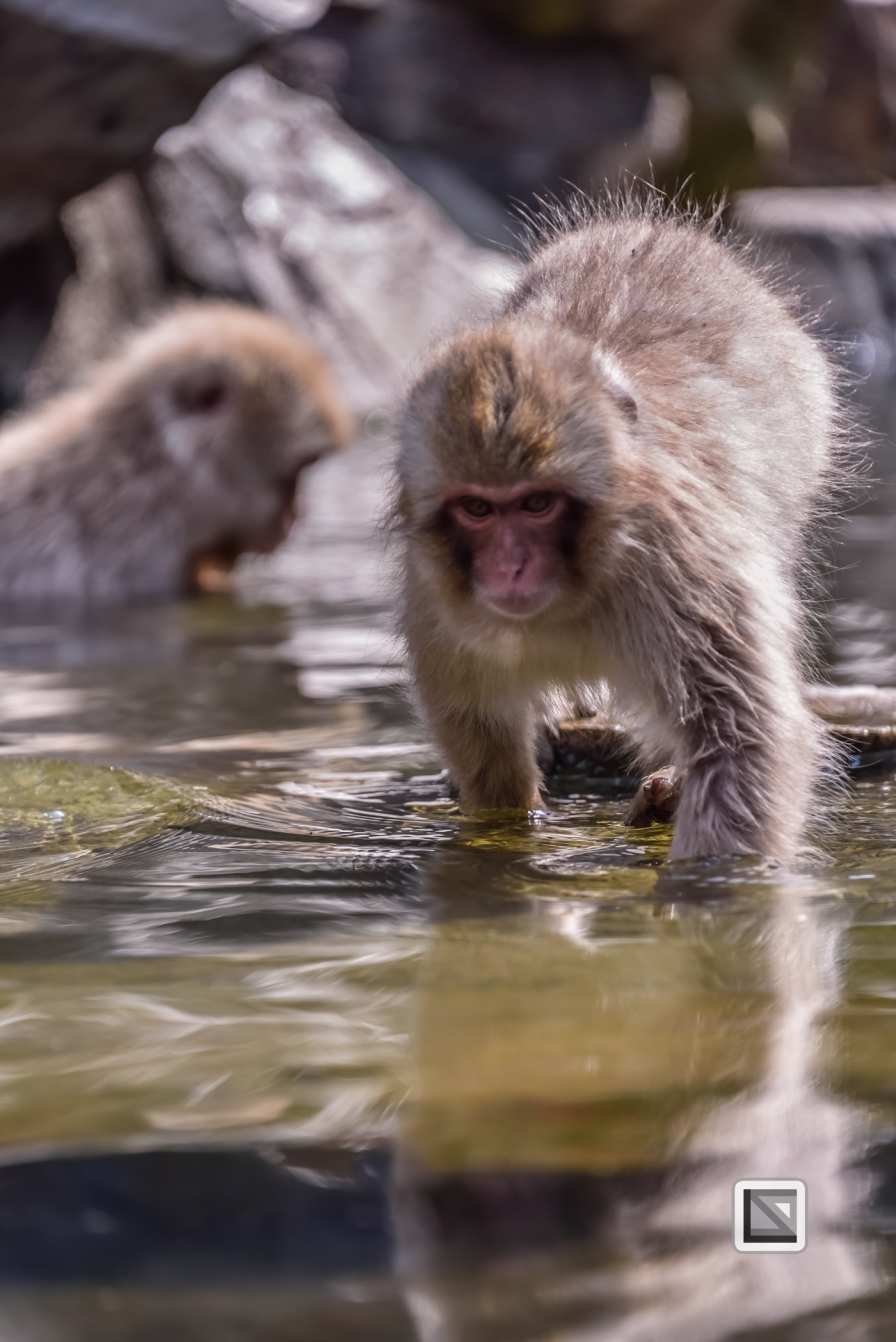 japan-jigokudani-snow_monkeys-28