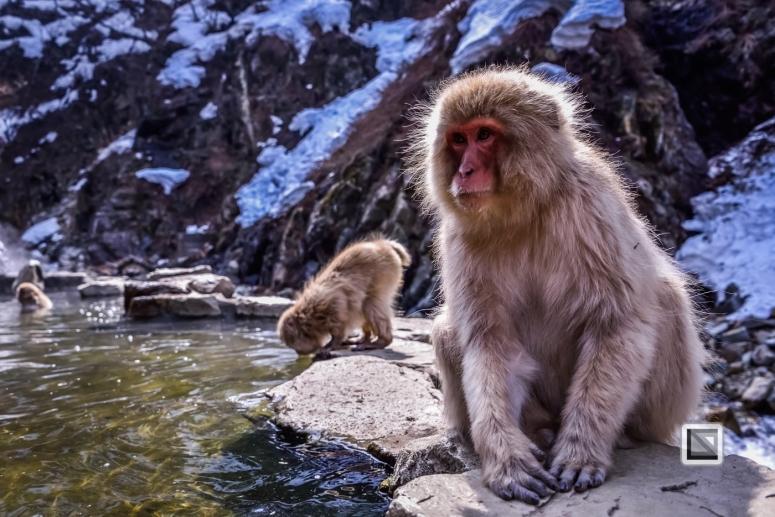 japan-jigokudani-snow_monkeys-29