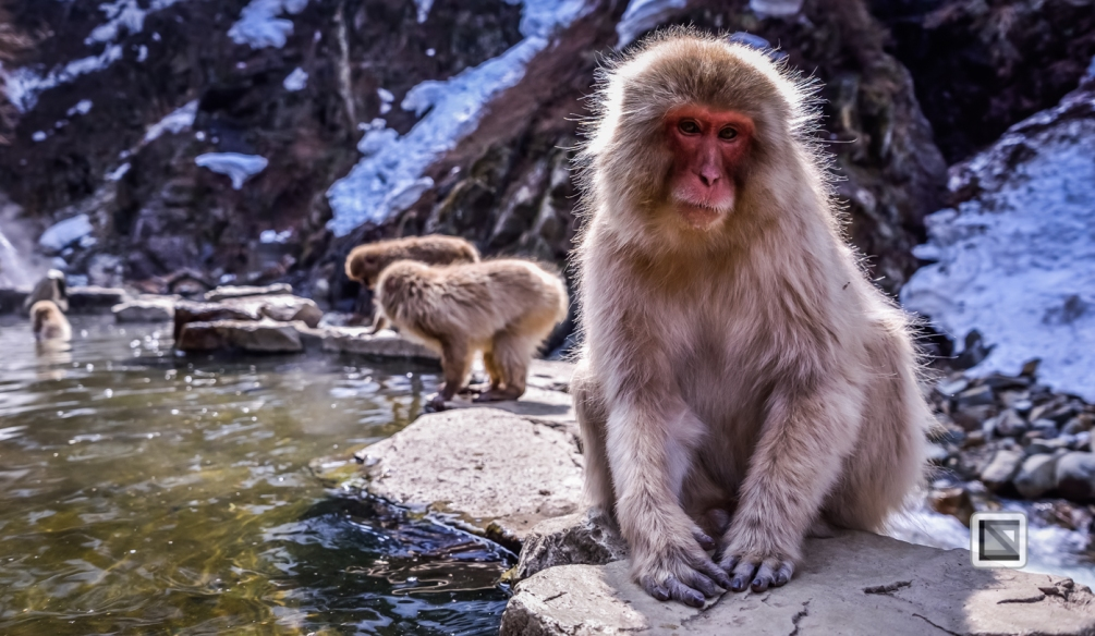 japan-jigokudani-snow_monkeys-30